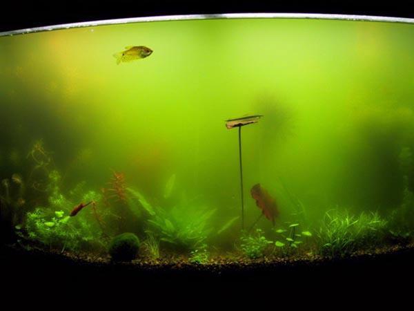 водоросли в аквариуме как бороться с помощью света